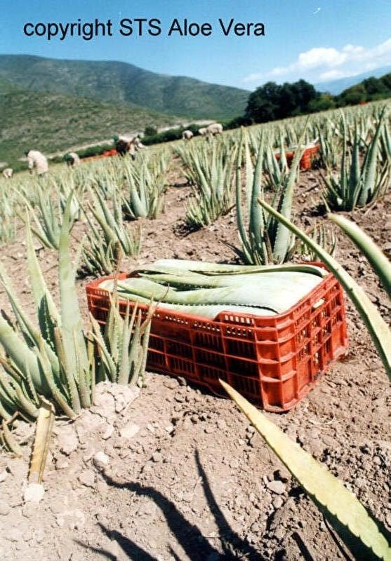 ecolife aloe vera teelt natuurlijk gezond bio aloë op vulkanische grond. Hallo lezer, welkom!